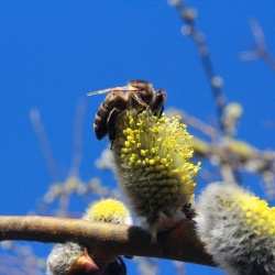 Среднерусская пчела на вербе