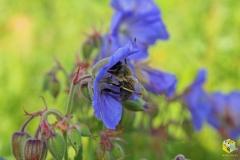 Пчела на цветке герани