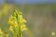 Цветок льнянки обыкновенной