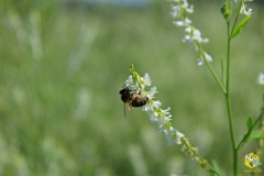 Пчела на белом доннике