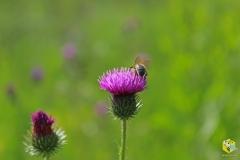Пчела на бодяке болотном