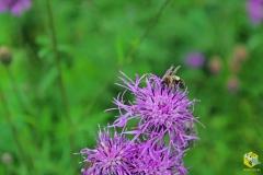 Пчела с обножкой на васильке