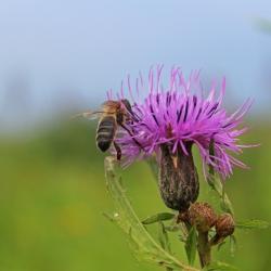 Пчела на цветке серпухи венценосной