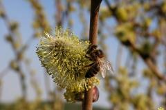 Пчела на цветке вербы 2