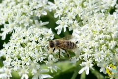 Пчела на цветке Борщевика