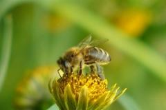 Пчела на череде поникшей