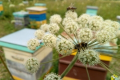 Дягиль Лесной очень нравится пчелам