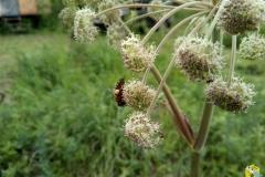 Пчела на Дягиле Лесном