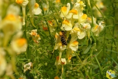 Пчелы при работе на льнянке измазывают в пыльце спину