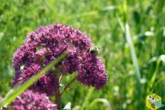 Пчела на Очитоке пурпурном