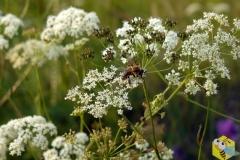 Пчела на Бедренеце Камнеломковой