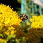 Золотарник и пчела