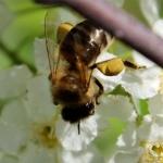 Пчела собирает пыльцу с цветков черемухи