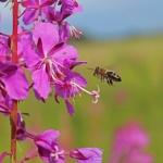 Пчела летит на цветок Иван-чая