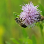 Пчела на розовом осоте