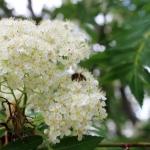 Пчела собирает пыльцу с рябины