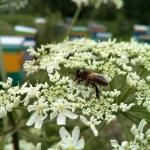 Пчела на борщевике