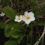 Клубника луговая - Fragária víridis