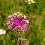 Пчела на цветке Василька Шероховатого