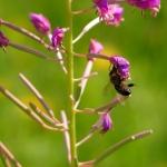 Пчела на Иван-чае 1