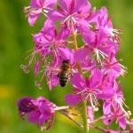 Пчела на Иван-чае 4