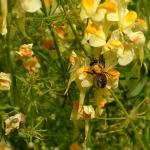 Пчела собирает нектар с льнянки