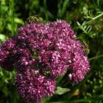 Пчелы на Очитоке пурпурном