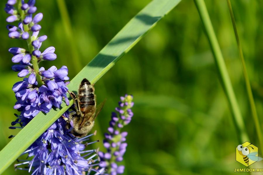переусердствуйте средняя полоса медоносная трава для пчел фото дела