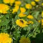 Пчела на одуванчике