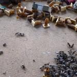 Пустые маточники. Из них вывелись пчелиные матки