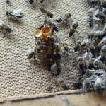 Пчелы окружили маточник
