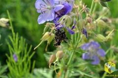 Паук напал на пчелу на цветке герани. К сожалению, она погибла
