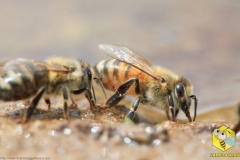 На берегах пруда, пчела собирает драгоценную жидкость - воду.