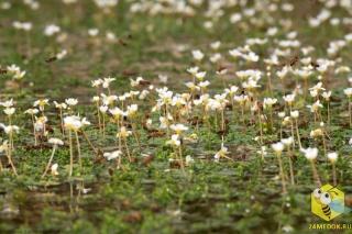 Группа примерно из 100 пчел собирает обычную воду между цветов Лютика. В жаркие дни, когда ветер высушивает растения, пчелы-сборщицы играют роль водовозов и летают туда и обратно для сбора воды.