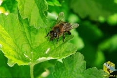 Пчела пьет воду из капли на листке. Некоторые пчелы заняты сбором пыльцы, другие пчелы специализируются на сбор воды, но это отнюдь не так просто. Это опасное занятие для пчел, часто можно увидеть мертвых пчел, которые упали в воду и утонули.