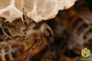 Строительство пчелиного гнезда. Пчелы используют 8-9 килограммов меда и пыльцы, чтобы произвести один килограмм воска. Воск вырабатывается восемью брюшными железами. Железы выпускают крошечные пятнышки, размером - 0,2 мм. Рамка из 80000 ячеек требуется 80000 часов работы и состоит из 991 000 пятнышек воска.