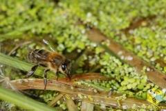 На поверхности ряски, пчелы заполняют свой хоботок водой, чтобы принести воду в улей. Пчелиной семье нужно 1-2 литров воды в день, в середине лета. Эта вода в основном нужна для выращивания расплода и охлаждения гнезда в жару.