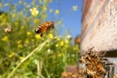 Щедрый трехнедельный период цветения рапса. Пчелиная семья увеличивается. Летной пчелы становится больше. Пчела-сборщица летит обратно в улей с полным зобом нектара. Пчелы, которые находятся на нижнем летке улья заняты вентилированием. Выпаривают лишнюю влагу из улья, регулируют температуру.