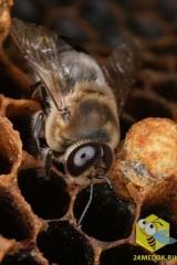 Трутни единственные мужские особи в колонии. В каждой пчелиной семье их несколько сотен. Трутни более крупные, более круглые, более волосатые чем рабочая пчела. Трутень не имеет жало. Они живут в улье с весны до конца лета. Единственная задача трутня - это оплодотворение матки во время облета. Трутни не собирают нектар. В первые дни жизни их кормят пчлы, затем они сами съедают запасы мёда. Трутень съедает 230 мг мёда, рабочая пчела 100мг, матка 240мг в сутки.