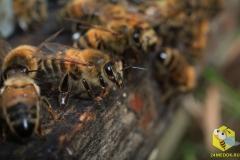 Пчелы-сторожи, готовы защищать вход в своё святилище от врагов, или, чаще, от пчел из других ульев. Пчела-сторож охраняет улей от 7 до 22 дней. Иногда пчела так и не меняет своих обязанностей до смерти.
