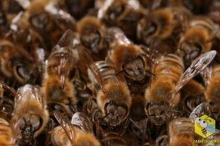 Численность пчелиной семьи. Сильная семья насчитывает до 40 000 пчел во время главного взятка. 300 - 400 пчел умирают каждый день. Таким образом семья полностью обновляется за 4 месяца. Есть два вида пчел - летняя летная пчела, которая живет 5 - 6 недель. И зимняя пчела, которая идет в зимовку, живет 6 - 8 месяцев.