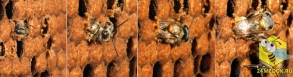 Используя свои мощные челюсти, это пчела только что прогрызла восковую крышечку, которая защищает будущую пчелу в процессе её превращения из личинки в куколку.