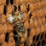 Рождается пчела быстро. После того, как она прогрызает челюстями восковую крышку, молодой пчеле удается освободить передние ножки. Она подтягивается и извлекает оставшуюся часть своего тела.