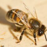 Пчела с деформированным крылом