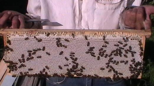 работа среднерусских пчёл
