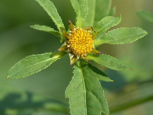 Череда трехраздельная — Bidens tripartita L.