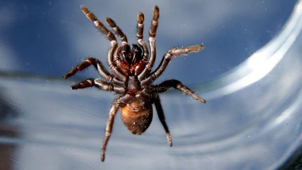Яд воронкового паука избавит пчел от клещей варроа