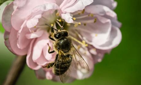 Пчела на цветке миндаля