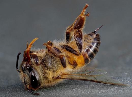 Погибшая пчела