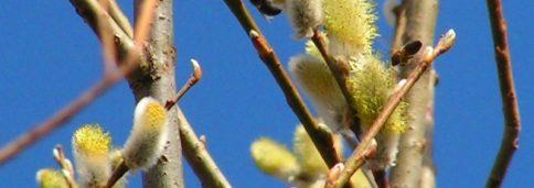 Ива козья – Salix caprea L.